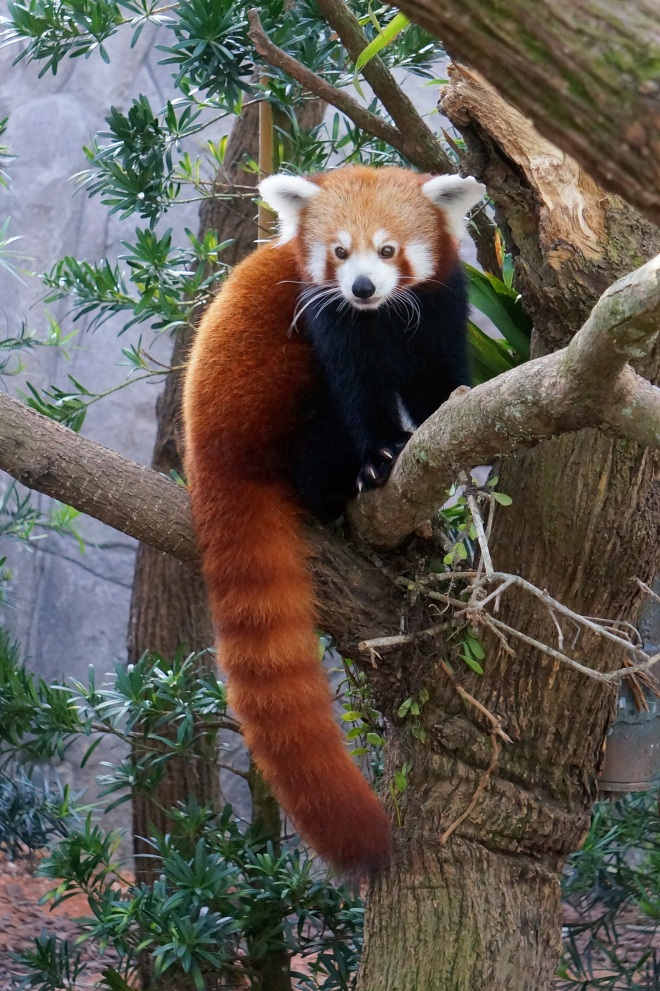 Red pandas have reddish-brown fur, long, bushy tail and typically grow to the size of house cats.