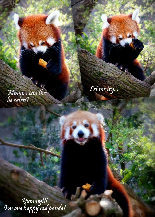 Red panda collage